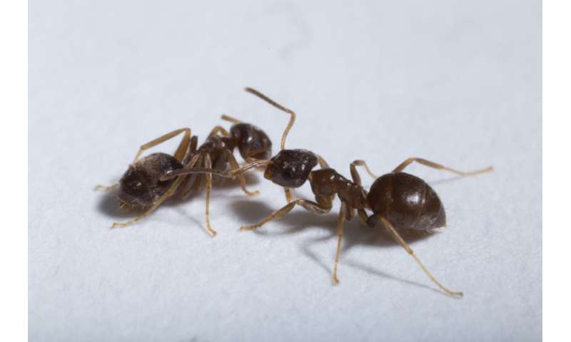 Helping in spite of risk: Ants perform risk-averse sanitary care of infectious nest mates