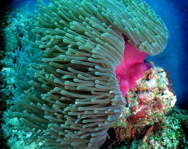Heteractis magnifica sea anemones can help fight the Alzheimer's disease
