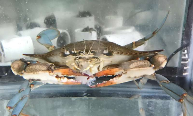 'Hide or get eaten,' urine chemicals tell mud crabs