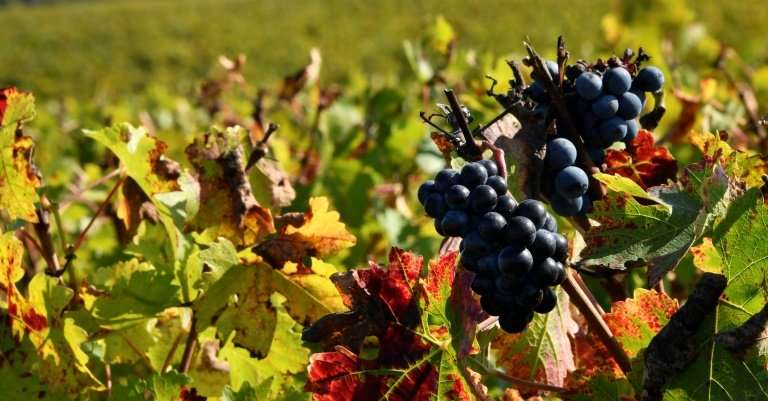 High temperatures across France came just in time for winegrowers who were worried about harvests after an especially rainy May