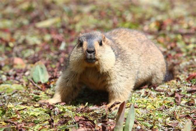 Himalayan marmot genome offers clues to life at extremely high altitudes