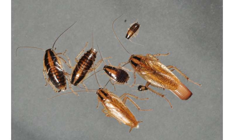 Home cleanliness, residents' tolerance predict where cockroaches take up residence