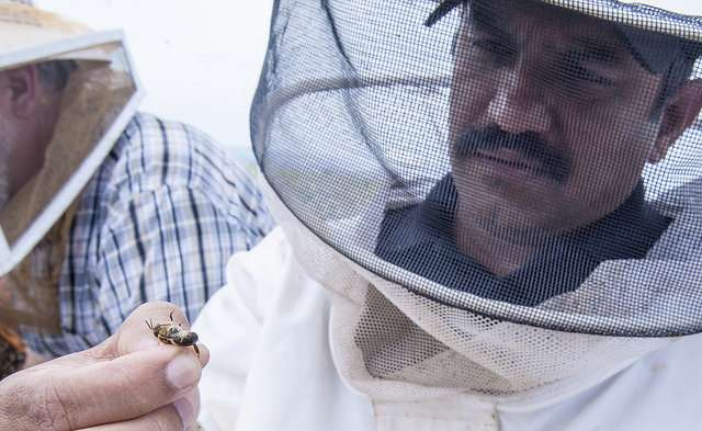 Honeybees prioritize well-fed larvae for emergency queen-rearing, study finds