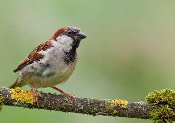 House sparrow status signalling theory no longer flies