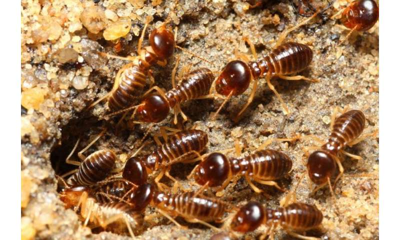 How a termite's mound filters methane—and what it means for greenhouse gases