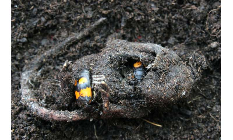 How beetle larvae thrive on carrion