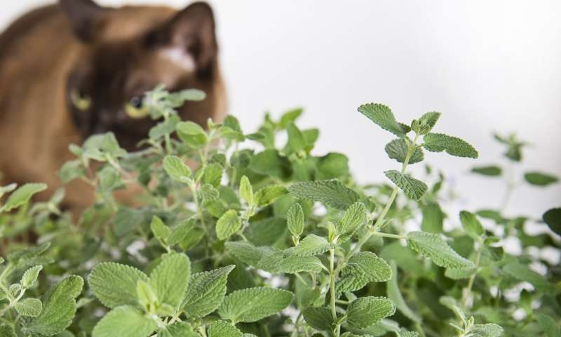 How catnip makes the chemical that causes cats to go crazy