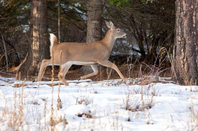 How do deer survive harsh winter weather?