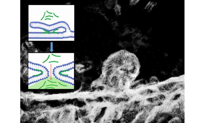 How do peptides penetrate cells? Two sides of the same coin