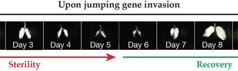 How invading jumping genes are thwarted
