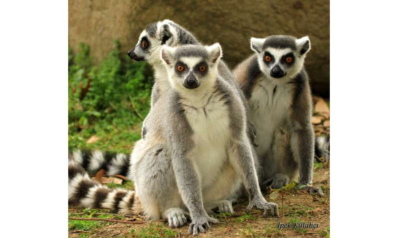 How lemurs win 'friends' and influence other lemurs