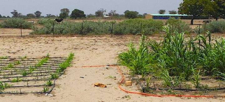 How one tough shrub could help fight hunger in Africa