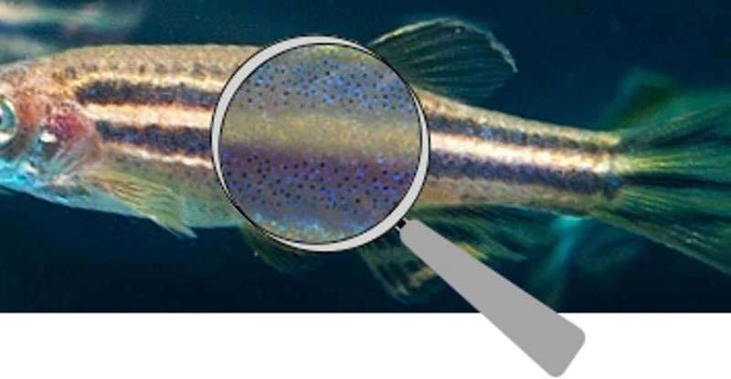 How the zebrafish got its stripes