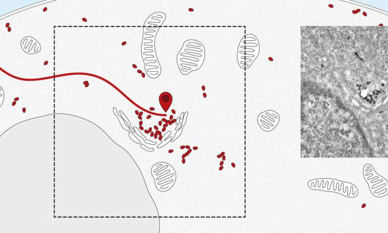 How to track and trace a protein: Nanosensors monitor intracellular deliveries