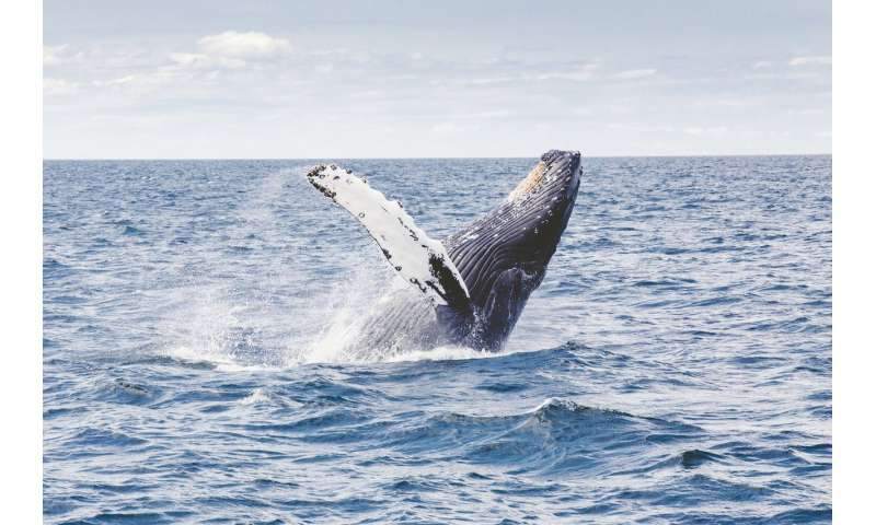 Humpback whales found to compose new communal song every few