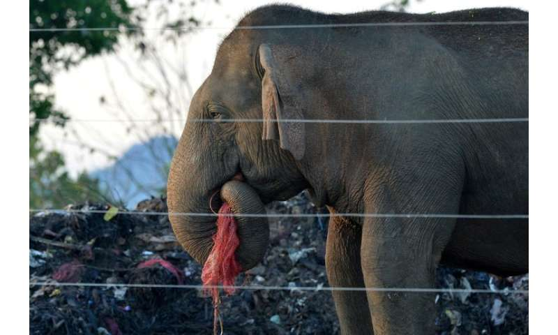 Hundreds of Sri Lanka's wild elephants now scavage at rubbish dumps, risking their health due to plastic scraps mixed with rotti