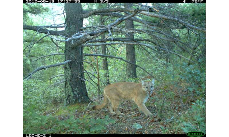 Hunger guides mountain lions' actions to enter residential areas