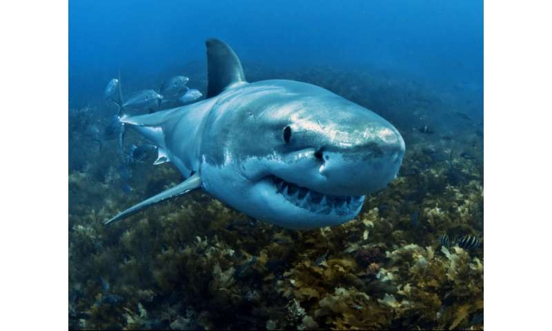 Hunting a 'great' shark deterrent