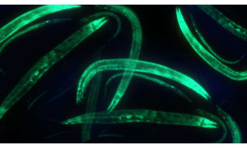In a tiny worm, a close-up view of where genes are working