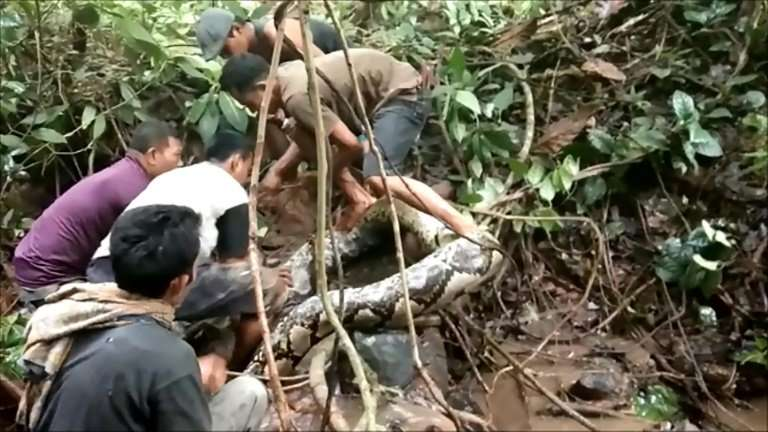 Indonesian villagers initially thought the giant snake was just an old log before one of them touched the serpent, triggering it
