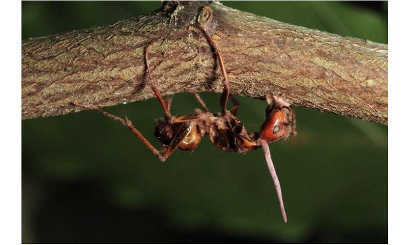 Infected 'zombie ants' face no discrimination from nest mates