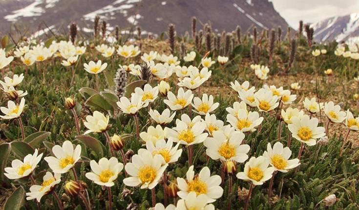 In the absence of bees, flies are responsible for pollination in the Arctic region