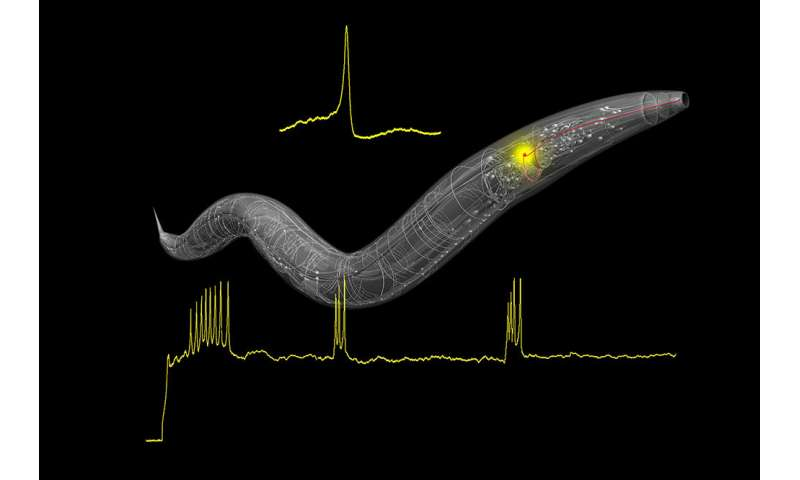 In tiny worms, researchers find spiking neurons -- and clues about brain computation