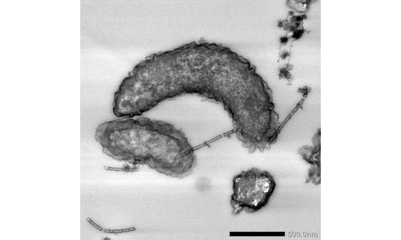 Iron-corroding bacteria shown to possess enzymes enabling them to extract electrons from extracellular solids