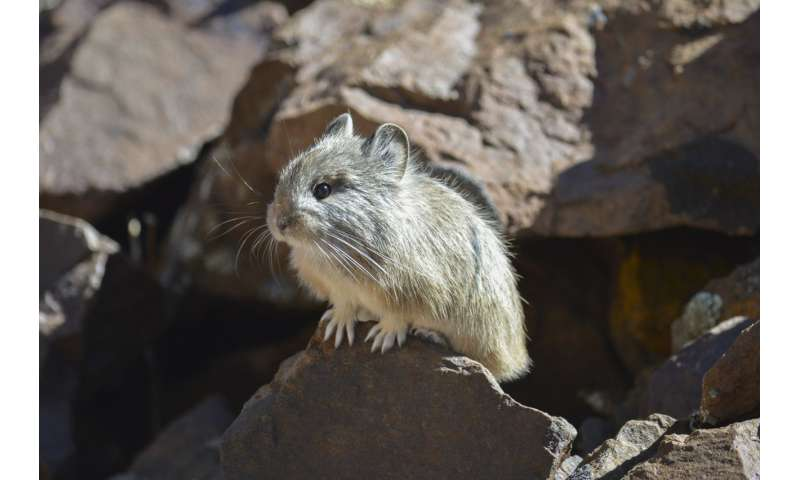 It's in the genes – there may be hope for pikas hit by climate change, researchers find