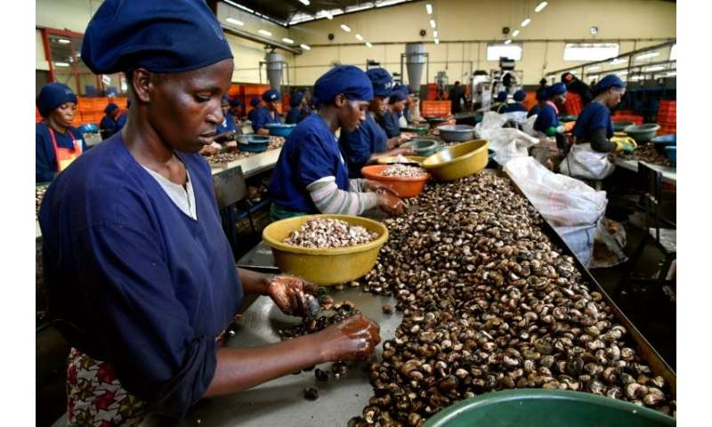 Ivory Coast is the world's biggest grower of cashews—it now hopes to develop the processing side of the industry, to create jobs