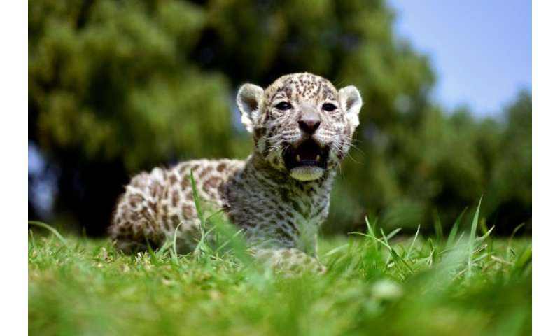 Jaguars are the largest cats in the Americas, and the third-largest in the world, after lions and tigers