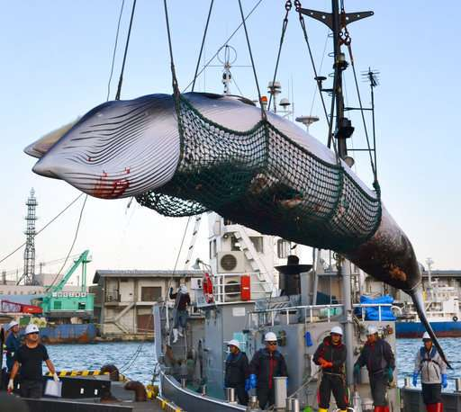 Japan considers leaving IWC to resume commercial whale hunts