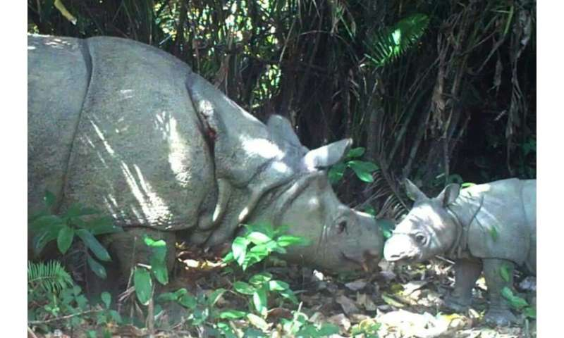 Javan rhinos have been driven to the brink of extinction as their horns are highly valued in traditional Chinese and Korean medi