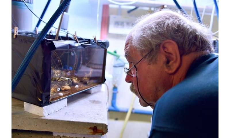 Jean-Charles Massabuau observing oysters attached to electrodes in a specially built tank at his lab in Arcachon, southwest Fran