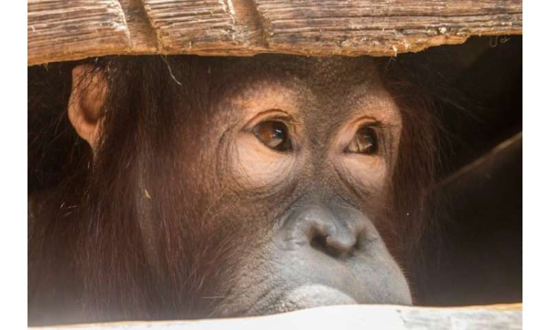 Joy the orangutan looking out from its cage after being rescued by environmentalists and local officials from villagers who had