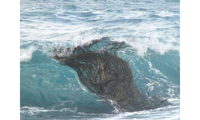 Kelp's record journey exposes Antarctic ecosystems to change