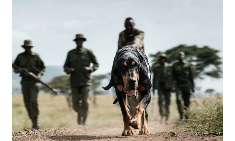 Kenyan ranger Maseto Sampei holds his bloodhound during a trace training session in the Mara Triangle