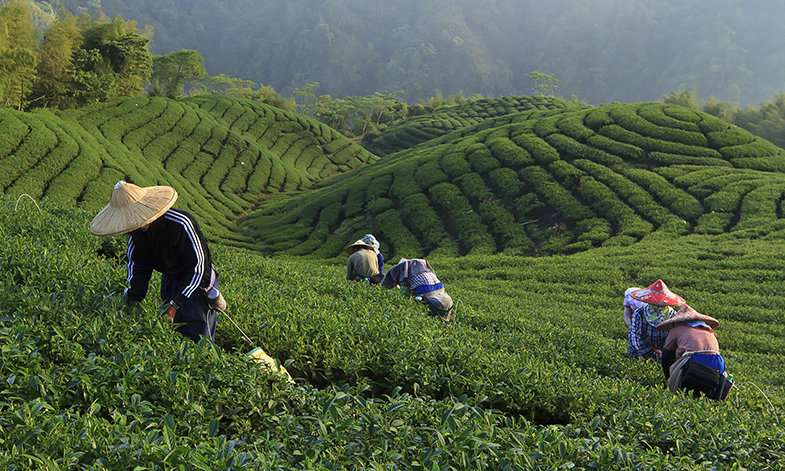 Labour exploitation is endemic in global tea and cocoa industries, international study finds