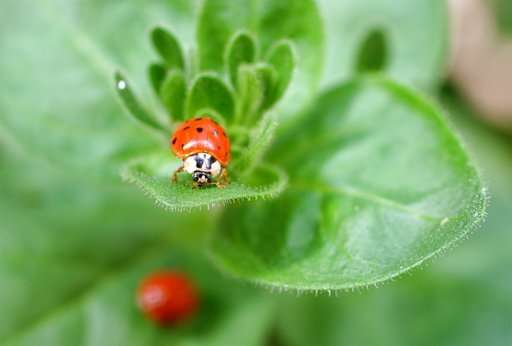 Ladybug, where have you gone? Aphid fighters tend to roam