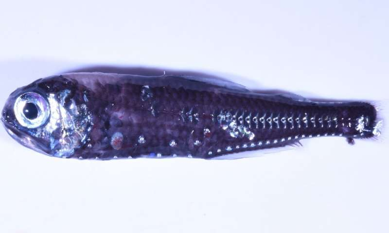 Lanternfish reveal how ocean warming impacts the twilight zone