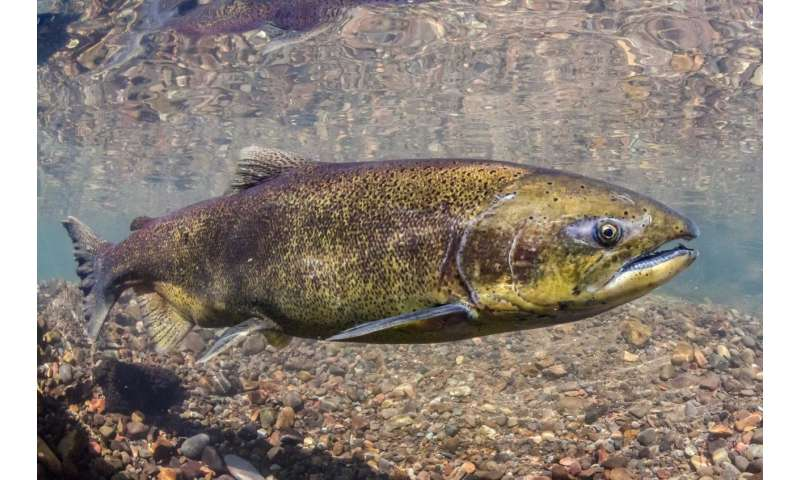 Largest Chinook salmon disappearing from West Coast