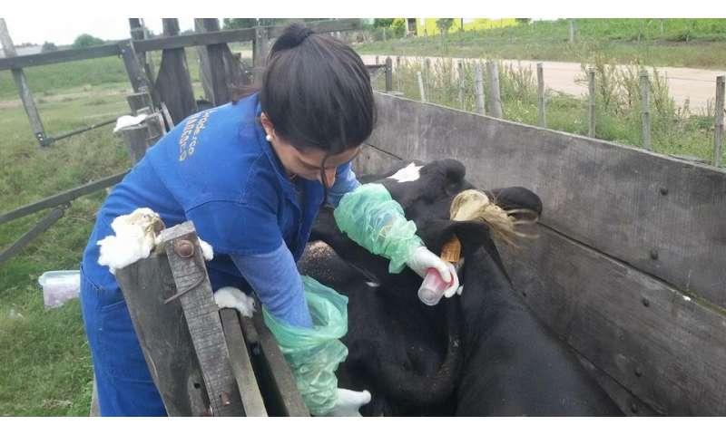 Leptospirosis strains identified in Uruguay cattle