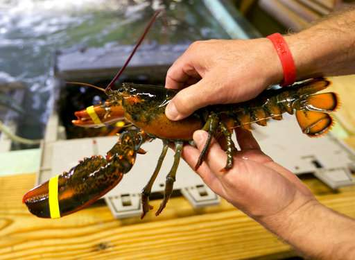 Lobster industry fears weaker shells, but evidence is mixed