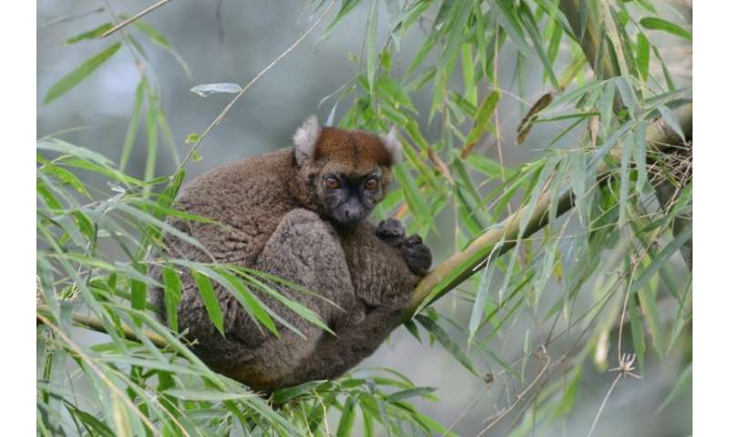 Madagascar's greater bamboo lemur was long thought to have been extinct until it was rediscovered in 1986