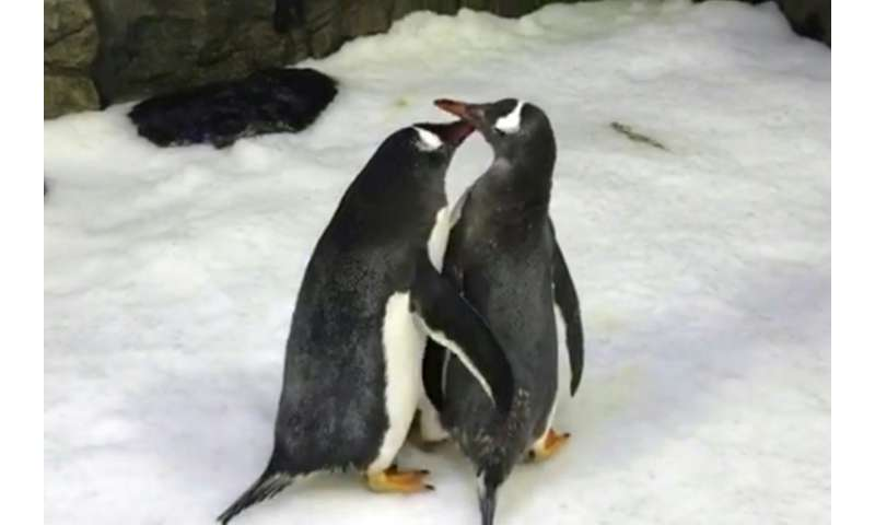 Male gentoo penguins Sphen and Magic have successfully incubated a baby chick and are 'doting' on their tiny offspring, say staf