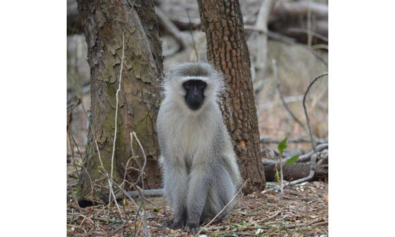 Male vervet monkeys use punishment and coercion to de-escalate costly intergroup fights
