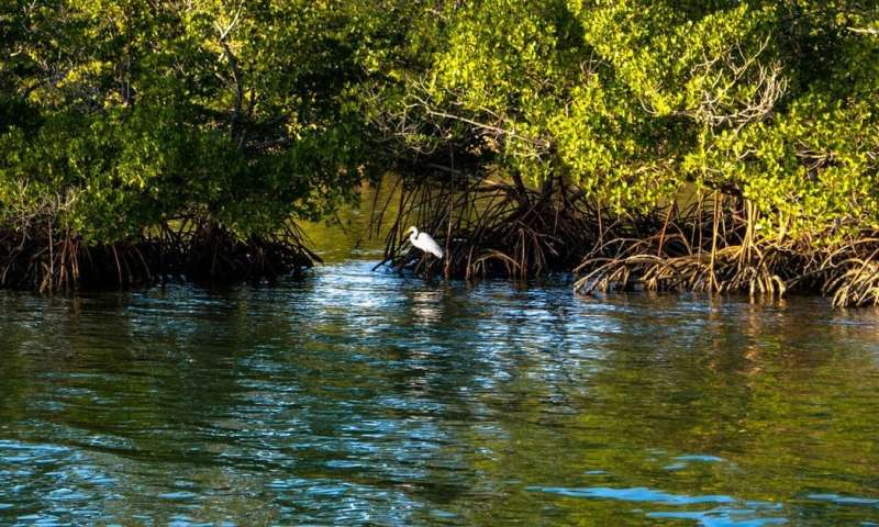 Mangroves protect coastlines, store carbon – and are expanding with climate change