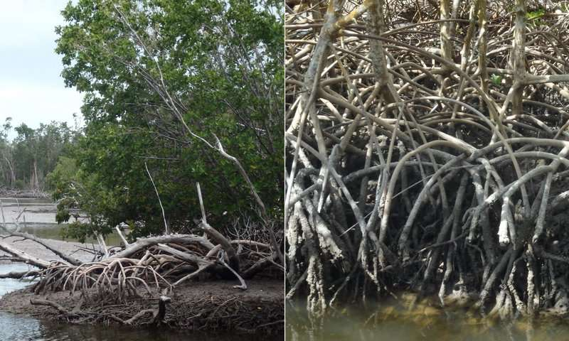 Mangroves to mudflats and not back again