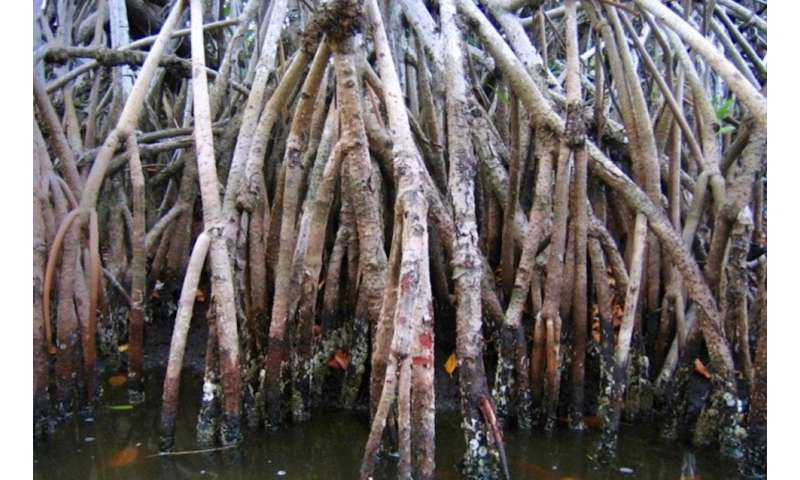Manmade mangroves could get to the 'root' of the problem for threats to coastal areas