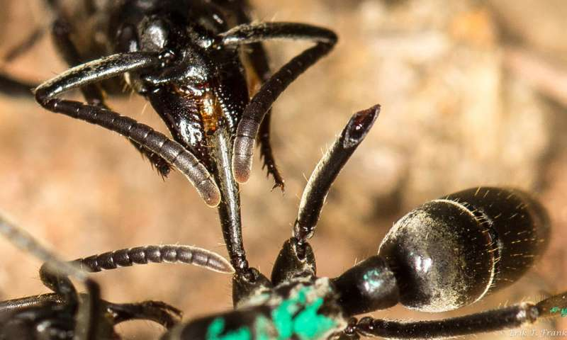 Medical care for wounded ants